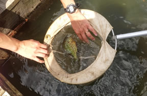 Freshwater fish captured for study.